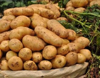 辰颐物语:马铃薯新品种青薯9号取得好成绩