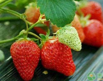 现在草莓多少钱一斤?2019草莓产区最新收购价格行情