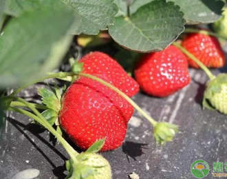 红颜草莓价格多少钱一斤?红颜草莓的栽培技术有哪些?