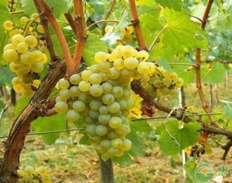 葡萄和提子营养有何差别?为什么两者的价格相差近1倍?