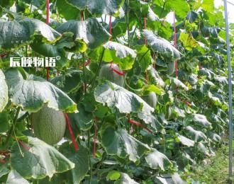 辰颐物语上新:海南西州蜜蜜瓜