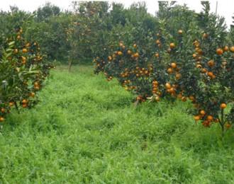 辰颐物语:农业项目支持助柑橘产户过上幸福日子