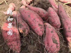 抗癌减肥大将:安远红心蜜薯