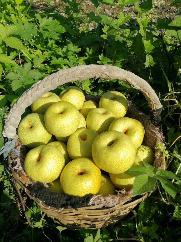 颐和果园正宗砀山酥梨