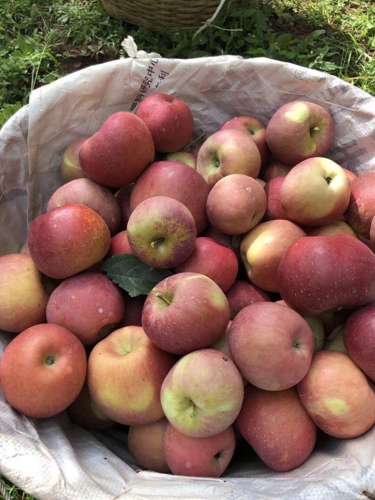 颐和果园——云南昭通丑苹果