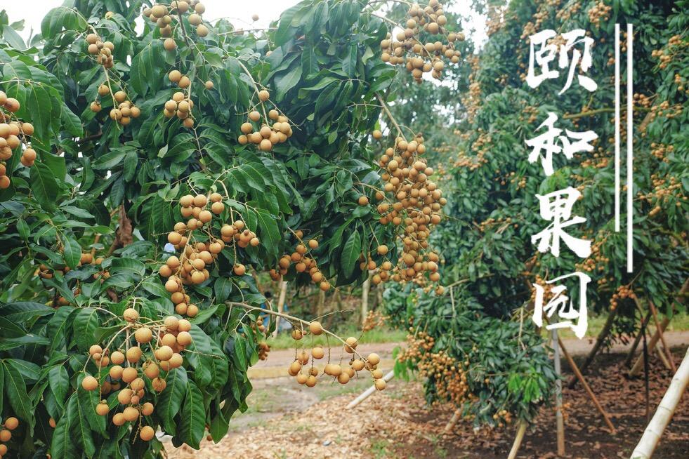颐和果园泰国金标龙眼