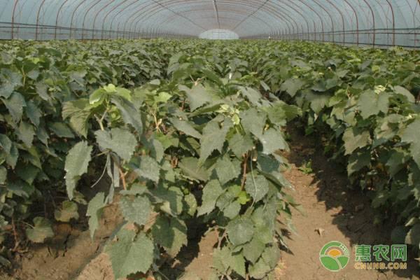 葡萄苗价格多少钱一株?葡萄苗的种植时间及种植要点