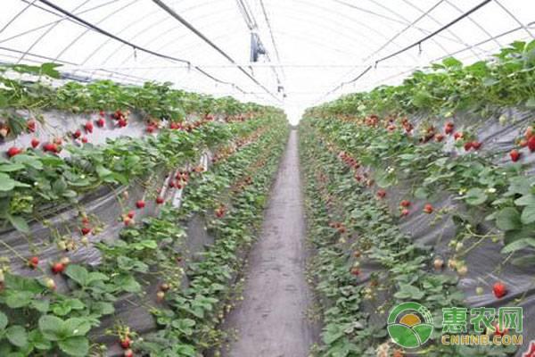 草莓苗要多少钱一棵?草莓苗移栽后如何浇水?怎么管理好?