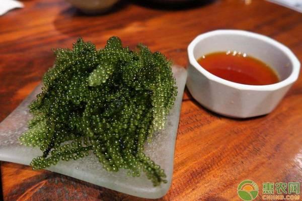 海葡萄是什么?多少钱一斤?海葡萄的养殖前景分析