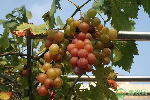 葡萄价格多少钱一斤?有哪些营养价值?该如何清洗?