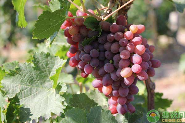 中国四大葡萄之乡分别在哪?其葡萄品种价格是多少?