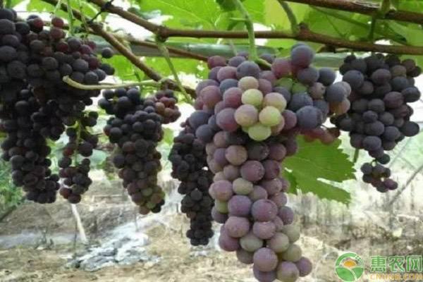 最贵的八个葡萄品种介绍
