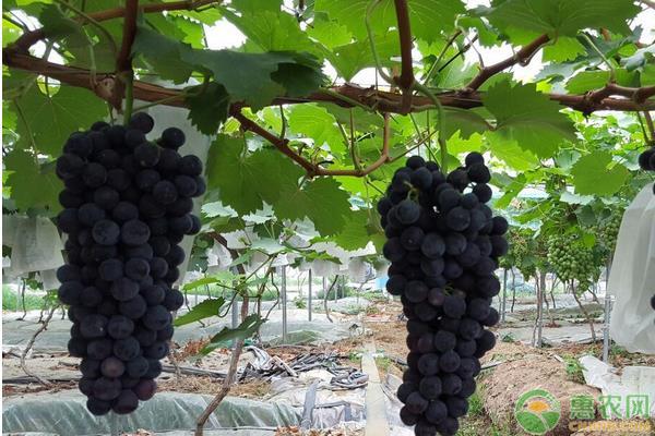 夏黑葡萄价格多少钱一斤?夏黑葡萄的栽培技术有哪些?
