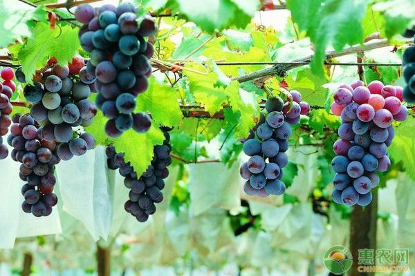 2019各地最新葡萄收购价格行情分析(附葡萄的种植前景)